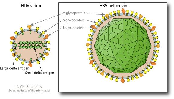 Deltavirus corona