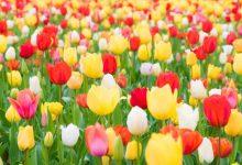 flowers tulips-blooming