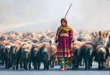 shephered girl amd lambs